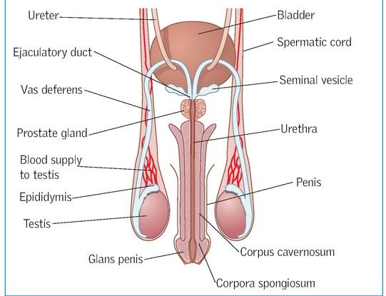 Male urinary catheterisation